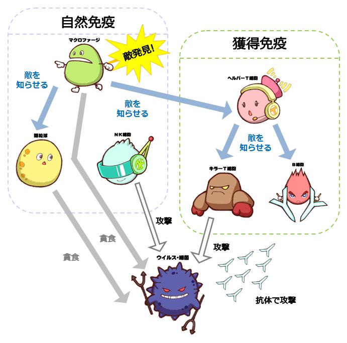 自然免疫と獲得免疫の仕組み